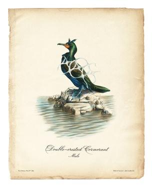 Birds of America (Double-crested Cormorant)