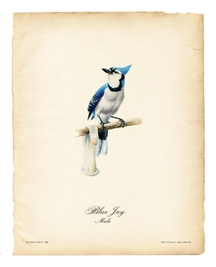 Birds of America (Blue Jay)